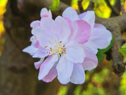樱花手机摄影习作